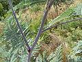 Acacia dealbata (5365020757).jpg