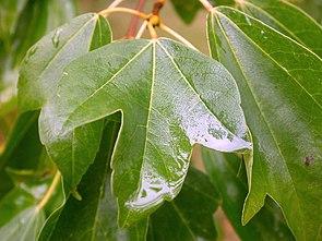 Blatt des Dreispitz-Ahorns (Acer buergerianum)