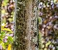Acer cappadocicum in Eastwoodhill Arboretum (1).jpg