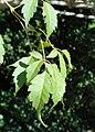 Acer cissifolium - J. C. Raulston Arboretum - DSC06139.JPG