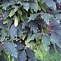 Acer griseum leaves and fruits Kew.jpg