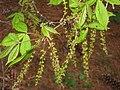 Acer henryi, Arnold Arboretum - IMG 6042.JPG