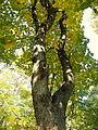 Acer obtusatum (43).JPG