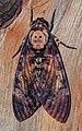 Acherontia styx (Westwood, 1847) (7211158436).jpg