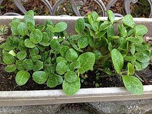 Acorn squash - Acorn squash sprouts