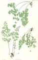 Adiantum capillus-veneris Moore45.png