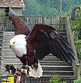 Adler auf Faust.jpg