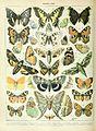 Adolphe Millot papillons A.jpg