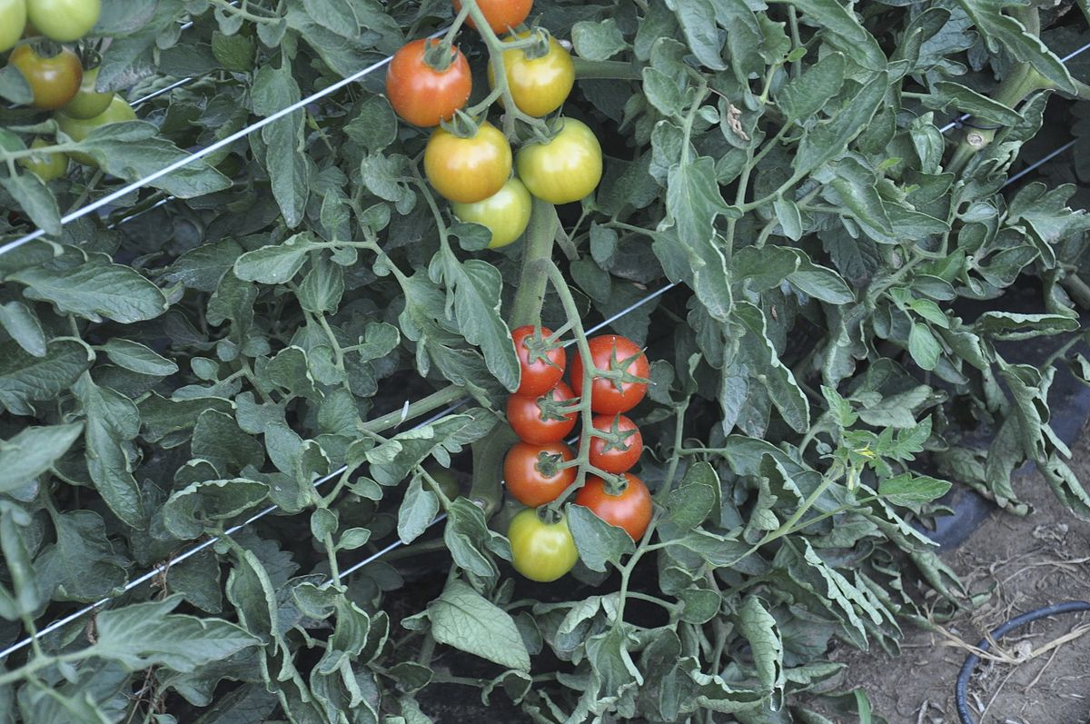 Black beauty tomato days to maturity