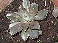 Aeonium holochrysum-yercaud-salem-India.jpg