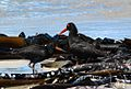African Black Oystercatcher adult with fledging.jpg