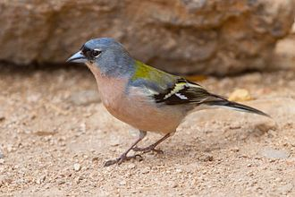 Common chaffinch - Male F. c. africana in Morocco