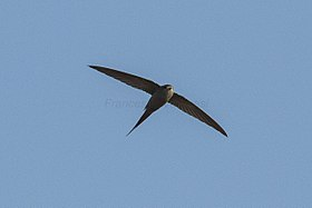 African Palm-Swift - Gambia (32270398680).jpg