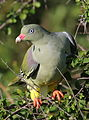 African green pigeon, Treron calvus, Kruger main road near Punda Maria turn-off, Kruger National Park, South Africa (26120091892).jpg