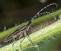 Agapanthia cardui MHNT Profil.jpg