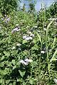 Ageratum houstonianum plant2 (11509158206).jpg