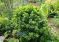 Aglaia odorata - Mounts Botanical Garden - Palm Beach County, Florida - DSC03875.jpg