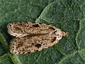 Agonopterix arenella (39045121670).jpg