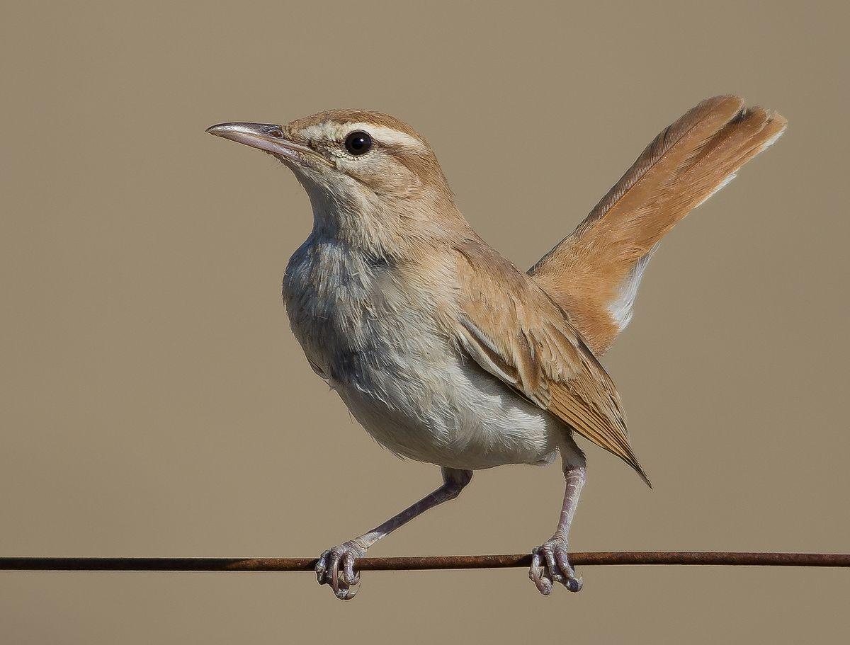 Rufous-tailed scrub robin - Wikipedia