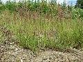 Agrostis stolonifera sl21.jpg