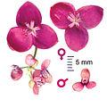 Akebia quinata female and male flowers.jpg