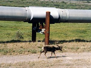 Trans-Alaska Pipeline System - A caribou walks next to a section of the pipeline north of the Brooks Range. Opponents of the pipeline asserted the presence of the pipeline would interfere with the caribou.