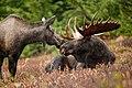 Alaskan moose pair (6862339335).jpg
