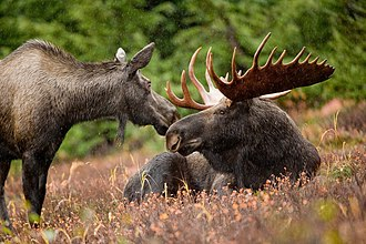Moose - Bull and cow moose