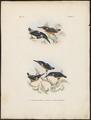 Alcedo euryzona - 1863-1876 - Print - Iconographia Zoologica - Special Collections University of Amsterdam - UBA01 IZ16800205.tif