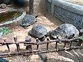 Aldabra giant tortoise-Lucky.jpg