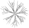 Aldrovanda vesiculosa whorl of leaves from Prof. Cohn (Darwin 1896, fig 13 upper, p 323).png