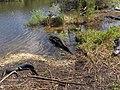 Alligators at Royal Palm^ - panoramio (1).jpg