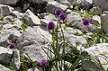 Allium schoenoprasum subsp. alpinum in Totes Gebirge.jpg