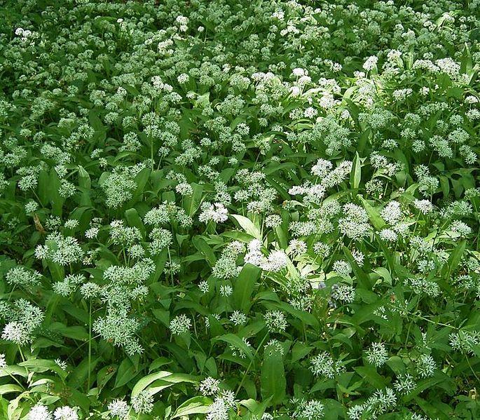Fichier:Allium ursinum8 ies.jpg