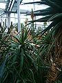 Aloe arborescens BotGardBln271207C.jpg