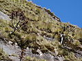 Aloe sp. Ribaue on slope (10201057633).jpg