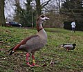Alopochen aegyptiaca, a duck, and a jogging kid in parc Tenreuken (Auderghem, Belgium, DSCF2969).jpg