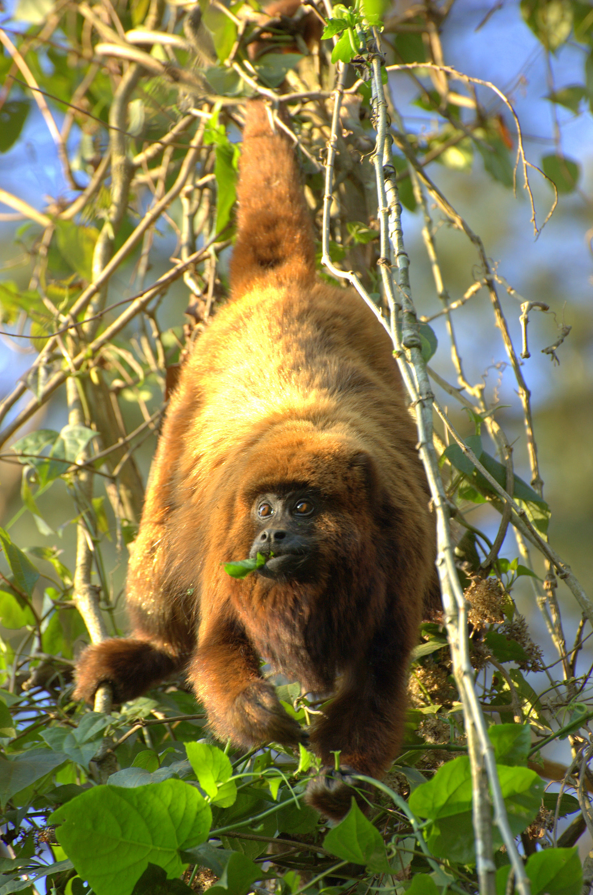 L Clamitans Southern brown howler ...