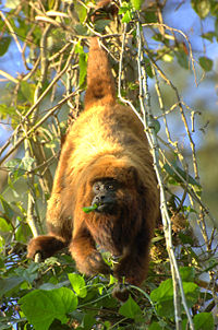 Alouatta guariba clamitans