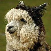 Closeup of an Alpaca's face