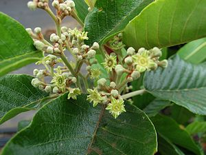 Alphitonia ponderosa - A. ponderosa flower