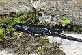 Alpine salamander - Salamandra atra (43897220664).jpg