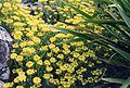 Alyssum montanum 1.jpg