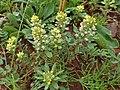 Alyssum simplex kz13.jpg