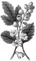 AmCyc - Cohosh (Actæa spicata).png