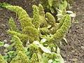 Amaranthus caudatus2.jpg