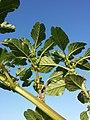 Amaranthus viridis sl10.jpg
