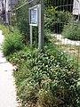 Amaranthus viridis sl26.jpg