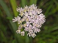 Amaryllidaceae - Allium strictum.JPG
