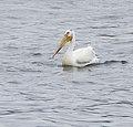 American White Pelican - panoramio.jpg